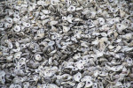 Come Shell or High Water: Oyster Shell Recycling Along Louisiana?s Coastline
