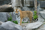 Mike the Tiger is Gone, and PETA is Calling for Him to be the Last Live Tiger Mascot at LSU