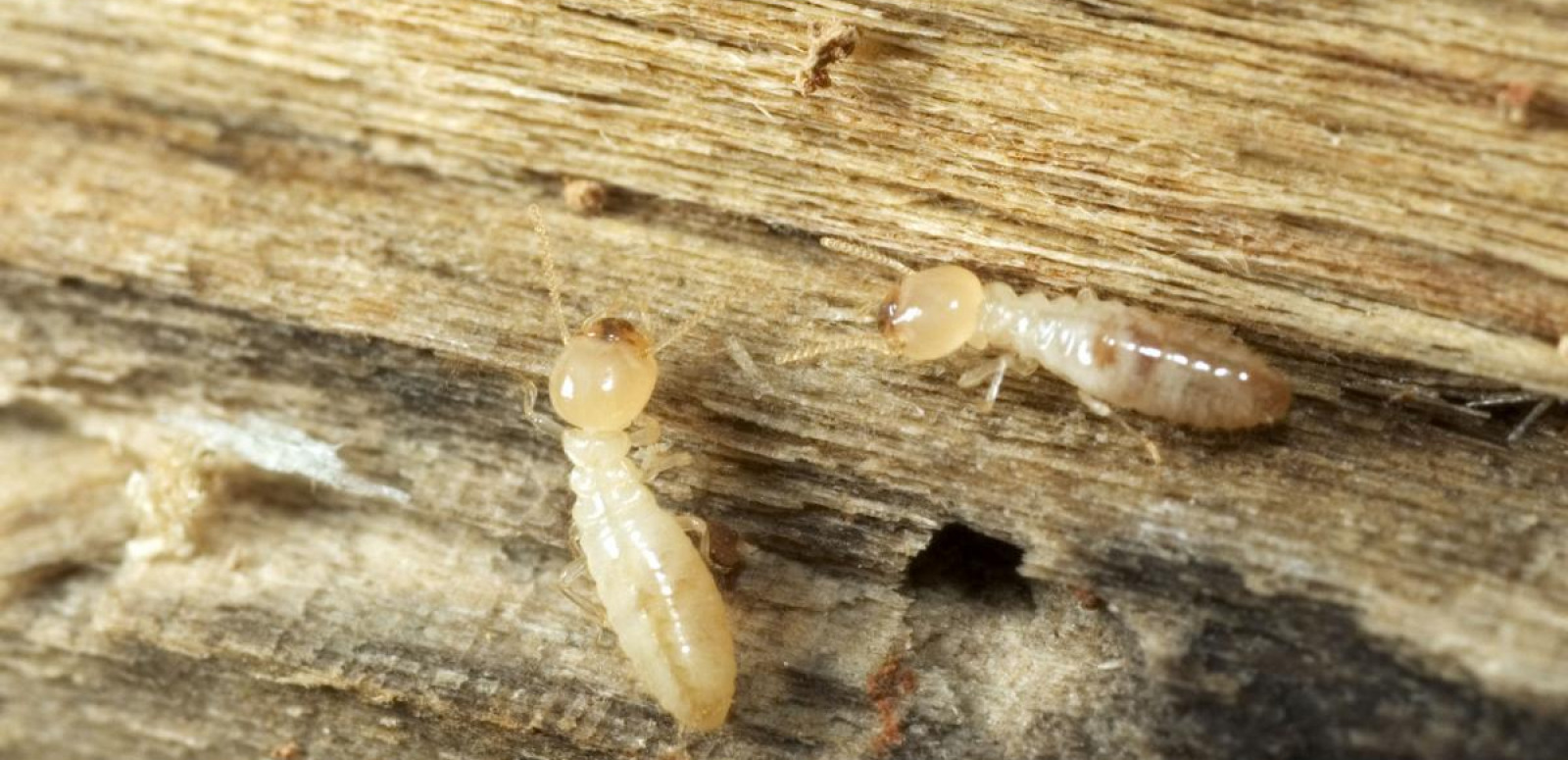 Termites cause billions of dollars in damage