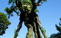 Image of The Walking Tree Man - graceful and wise, he slowly walks through the Village lanes.