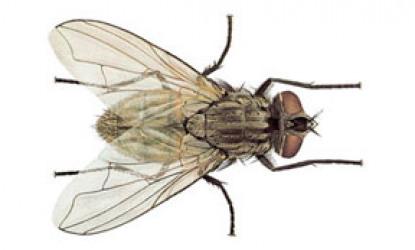 Flies: Muscidae