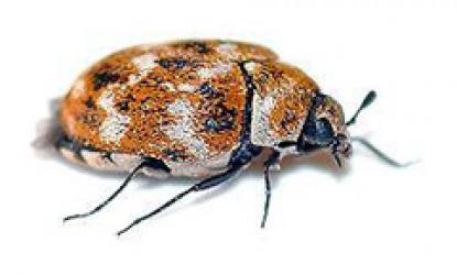 Beetles: Coleoptera