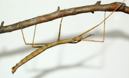 Walking Stick Bug